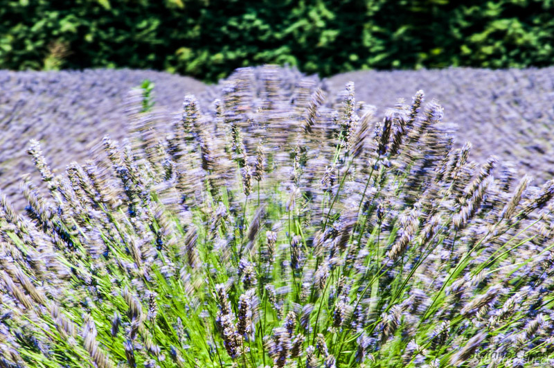 Lavender in the wind